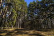 Forest of pine at springtime