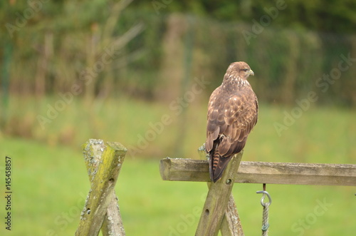 Buse variable (Buteo buteo) Poster