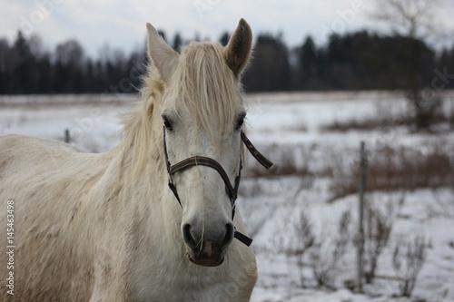 Poster White horse