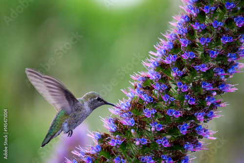 A Hummingbird Poster