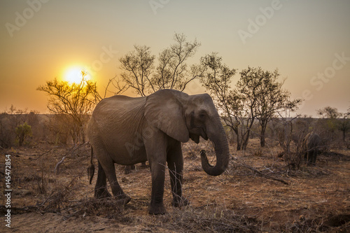 African bush elephant in Kruger National park, South Africa