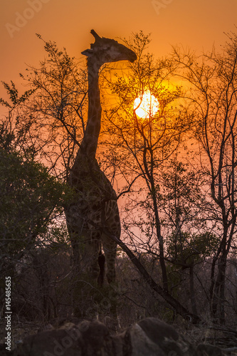 Giraffe in Kruger National park, South Africa Poster
