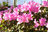 Azalea pink flowers in sunlight with green