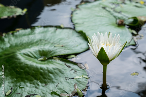 Lotus flower and Lotus flower plant Poster