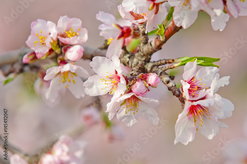 Almond blossom, blooming almond tree in March Poster