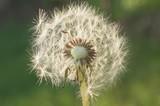 Detail of dandelion against green natural blurred background. Close up shot.