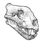 Cat skull illustration, drawing, engraving, ink, line art, vector
