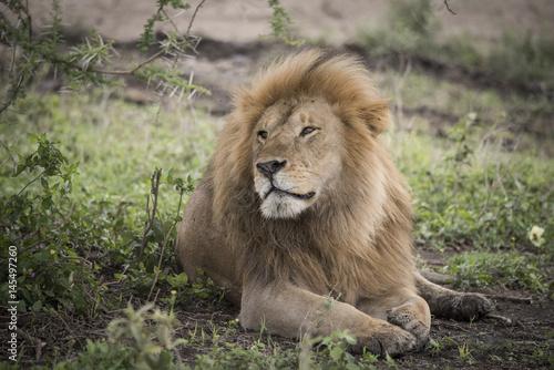 Proud Resting Male Lion, Serengeti Poster