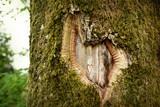 Heart shape in the old tree bark - 145500835