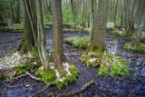 Wiosna w lesie łęgowym