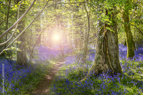 Poster Sunshine through the leaves in bluebell woods