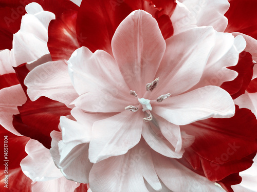 Fotobehang Rood paars flower red-white tulip. floral collage. Flower background. Close-up. Nature.
