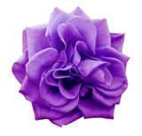 violet rose flower, white isolated background with clipping path. Closeup. no shadows. Nature..