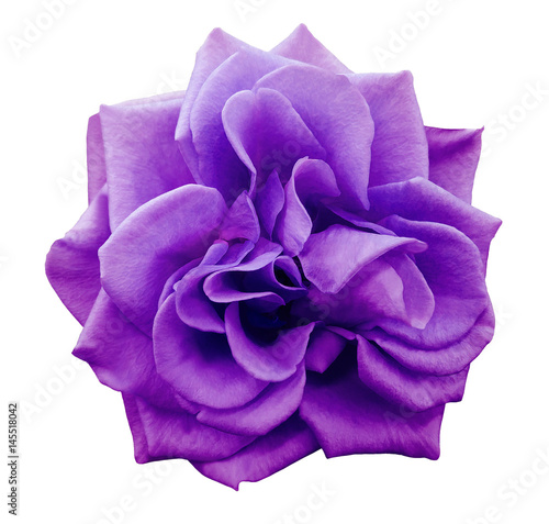 Fotobehang Violet violet rose flower, white isolated background with clipping path. Closeup. no shadows. Nature..