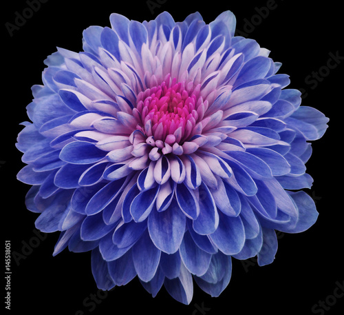 blue flower chrysanthemum, black isolated background with clipping path. Closeup. no shadows. Nature.