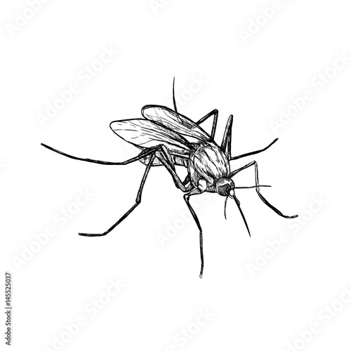 Hand drawn sketch of mosquito. Vector illustration. - 145525037