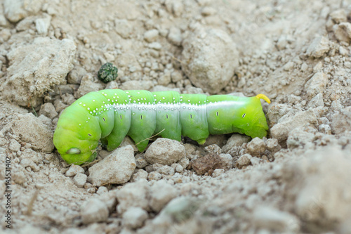 green butterfly caterpillar on soil Poster