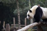 lovely giant panda in zoo