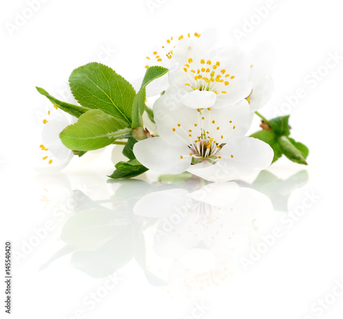 Cherry flowers isolated. - 145540420