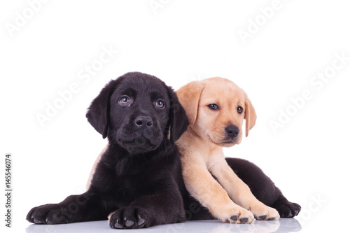 Poster yellow little labrador retriever lying on top of black puppy