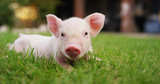 pig cute newborn standing on a grass lawn. concept of biological , animal health , friendship , love of nature . vegan and vegetarian style . respect for nature .	 - 145557487