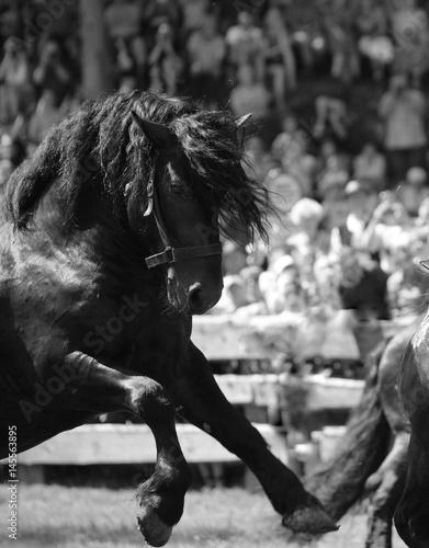 geballte Kraft, schwarzer Norikerhengst im Galopp bei einem Hengstkampf im Rauristal, schwarz- weiß © Grubärin