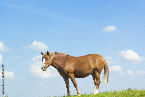 Wild horse brown color on grass Poster
