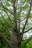The branches of the Baobab tree