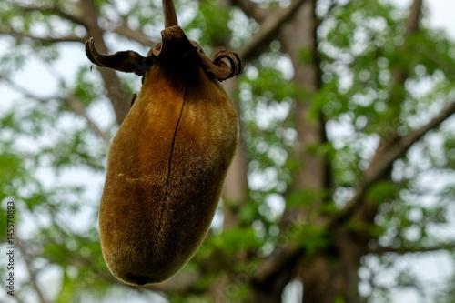 Fotobehang Baobab Baobab fruit