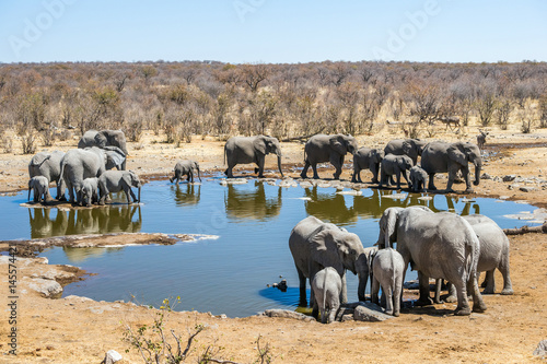 Large family of african elephants at Moringa waterhole in sunny winter day