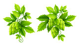 Fresh hop plants with cones and green leaves, isolated on white - 145577838