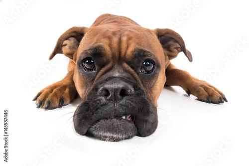 Hund Boxer braun liegt mit Schnautze auf Boden und guckt traurig Poster