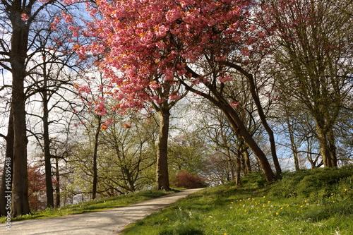 Kersenboom in bloem in de Prinsentuin in Leeuwarden Poster
