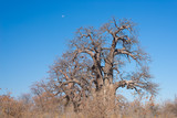 Huge Baobab plant in the african savannah with clear blue sky. Botswana, one of the most attractive travel destionation in Africa.