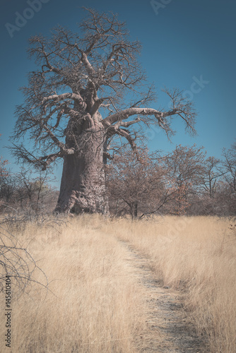 Foto op Canvas Baobab Huge Baobab plant in the african savannah with clear blue sky. Botswana, one of the most attractive travel destionation in Africa.