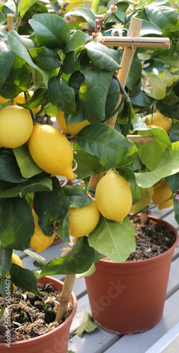 Fotobehang Palermo Pots with small tree of yellow Mediterranean lemons