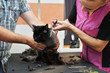 Professional hairdresser cuts a cat. Selective focus on the cat's face.