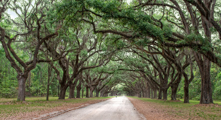 Dirt road into Wormsole Plantation lined with Live oaks draped in Spanish Moss
