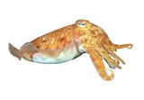 Cuttlefish sepia fish isolated on white background - 145648811