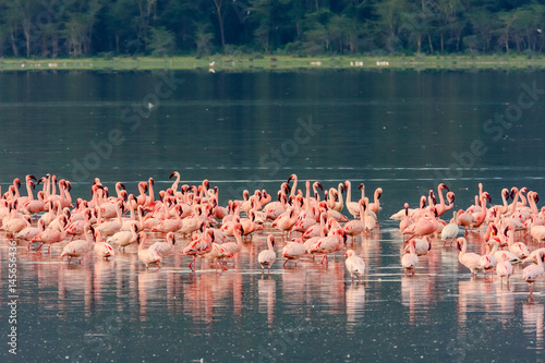 Pink flamingos flock. Nakuru lake, Kenya