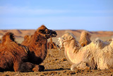 camel in love, varentine