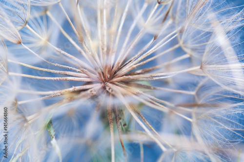 Macro dandelion flower background