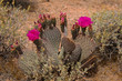 Blooming prickly pear cactus at the Valley of Fire State Park in Nevada, USA