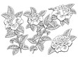 Gardenia flower branch graphic black white isolated sketch illustration vector