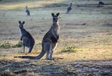 Kangaroos standing in field at dawn