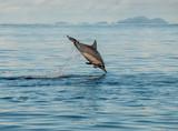 Spinner dolphin jumping, Solomon Islands