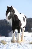 Nice irish cob stallion in winter - 145704650