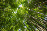 Thicket of tall bamboo trees fill the sky with greenery