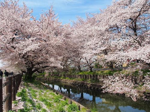 Poster sakura flower or cherry blossom