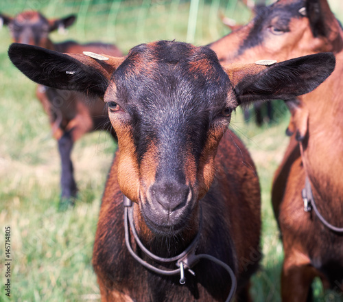 small brown goat